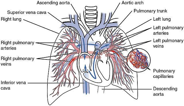 Flow Chart Of Heart Blood Flow: 2119 Pulmonary Circuit.jpg - Wikimedia Commons,Chart