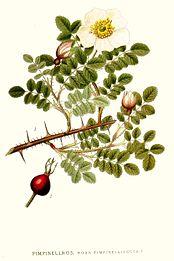 294 Rosa pimpinellifolia.jpg