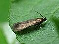35.080 BF732 Eulamprotes unicolorella (7328807678).jpg
