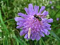 4896 - Mürren-Gimmelwald - Diptera on Flower.JPG