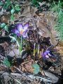 4 fleurs dont 2 pas écloses (5635842207).jpg