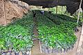 50 vivero plantas de café (12522980593).jpg
