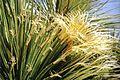 58. Dasylirion acrotrichum in cultur Eze IR Blattdetail - Kopie.jpg