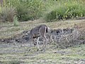 A Deer Grazing.jpg