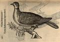 A Turtur indicus d´Aldrovandi.png
