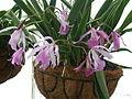 A and B Larsen orchids - Brassocattleya Maikai DSCN6014.JPG