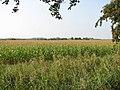 A crop of maize west of Muck Fleet - geograph.org.uk - 1496246.jpg