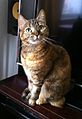 A domestic shorthair tortie-tabby cat.jpg