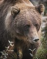 A grizzly bear sow eats berries and roots from the edge of the Toklat River on August 21, 2019. (09daa683-2518-4fa6-a861-ae157fe96c46).JPG
