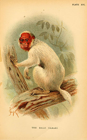 A hand-book to the primates (Plate XVI) (6029125656).jpg