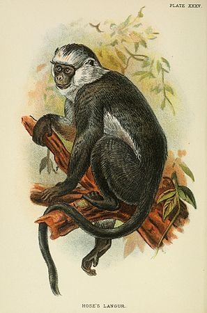 A hand-book to the primates (Plate XXXV) (6901562708).jpg