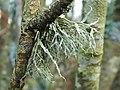 A lichen - Ramalina farinacea - geograph.org.uk - 1073623.jpg