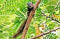 A lovely squirrel at National Botanical garden Bangladesh - 22-2-18.jpg