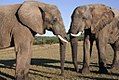 A meeting of like minds, Addo Elephant Park, Eastern Cape (6253196752).jpg