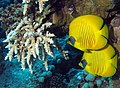 A pair of Masked Butterflyfish at Abu Dabab Reefs, Red Sea, Egypt SCUBA - 2.jpg