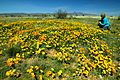A photographer captures images of the beautiful Mexican poppy.jpg
