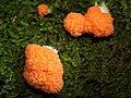 A slime mould - Tubifera ferruginosa - geograph.org.uk - 1493851.jpg