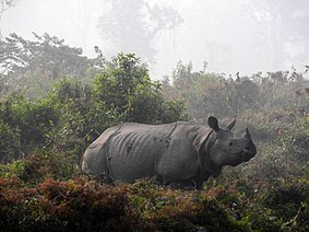 A solitary male one-horned rhinoceros.jpg