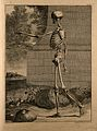 A standing skeleton, side view, with left arm extended. Wellcome V0008355.jpg
