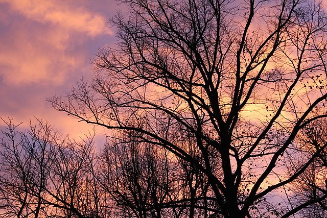 Purple-pink afterglow behind trees at sunset