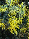 Acacia podalyriifolia 1