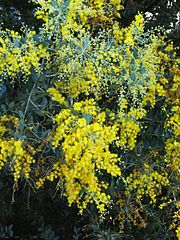 Acacia podalyriifolia 1.jpg