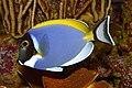 Acanthurus leucosternon 01.JPG