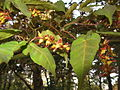 Acer crataegifolium 6.JPG