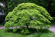 Acer palmatum BotGartenMuenster Faecherahorn 6691