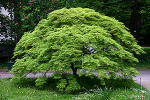Acer palmatum - This Japanese maple shows a dome-like shape.