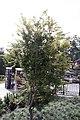 Acer palmatum Katsura 1zz.jpg