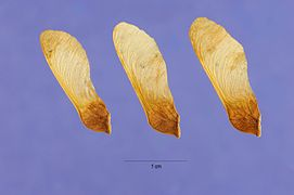 Acer spicatum seeds.jpg