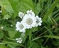 Achillea ptarmica (Sneezewort) flowers. Mauchline, Ayrshire.jpg