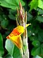 Achira (Canna indica) (14618113907).jpg