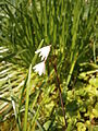 Acis autumnalis close-up1.jpg
