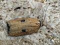 Acleris lorquiniana - Marsh button (43806109891).jpg
