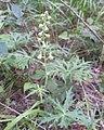 Aconitum barbatum 85480375.jpg