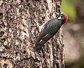 Acorn Woodpecker (m) (33875994996).jpg