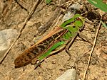 Acrididae - Locusta migratoria cinerascens-female.JPG