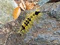 Acronicta major caterpillar.jpg