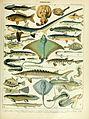 Adolphe Millot poissons B.jpg
