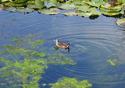 Adult Spot-flanked Gallinule.jpg
