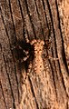 Adult male Platycryptus arizonensis dorsal.jpg