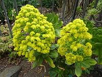 Aeonium undulatum (flowers)