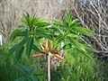 Aesculus californica-10.jpg