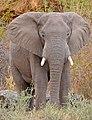 African Elephant (Loxodonta africana) bull (33038169621).jpg