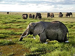 African Elephants in Kenya.jpg