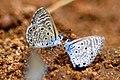 African babul blue - Azanus jesous.jpg