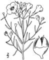 Agalinis maritima drawing-1.png