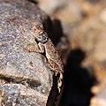 Agama lizard-1874 - Flickr - Ragnhild & Neil Crawford.jpg